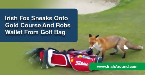 Fox-Irish-FB-Irish fox sneaks onto golf course