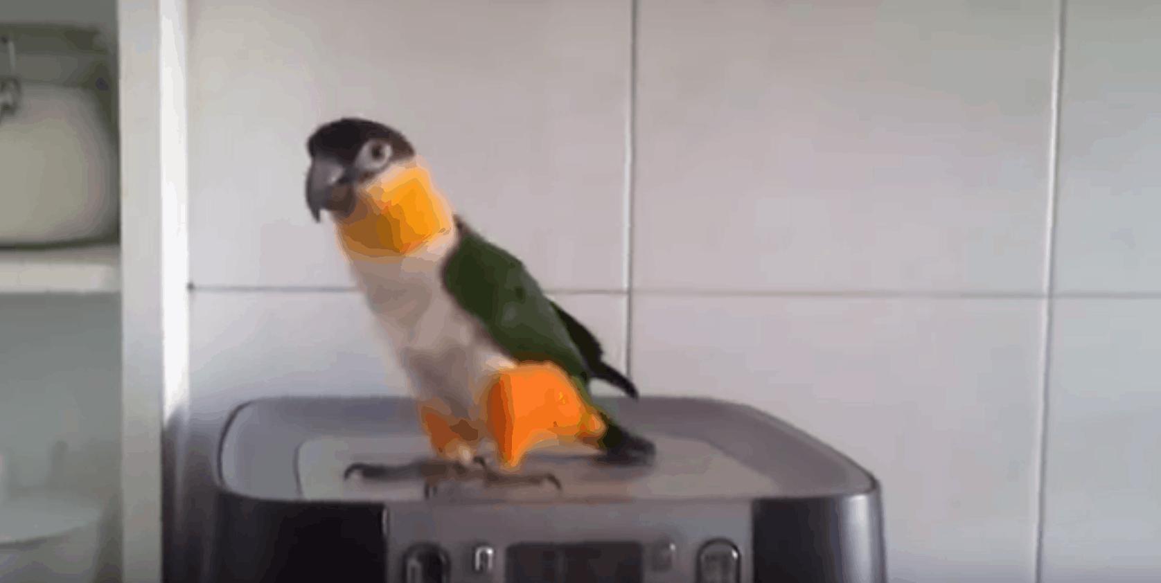 The Dancing Irish Parrot