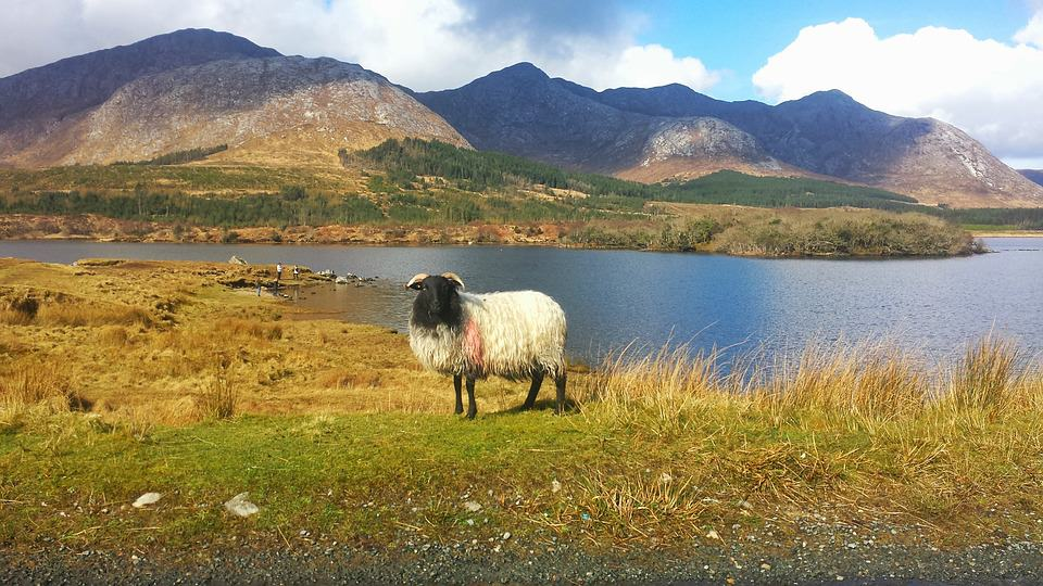 Lonely white sheep standing next to a lake in Connemara, Galway