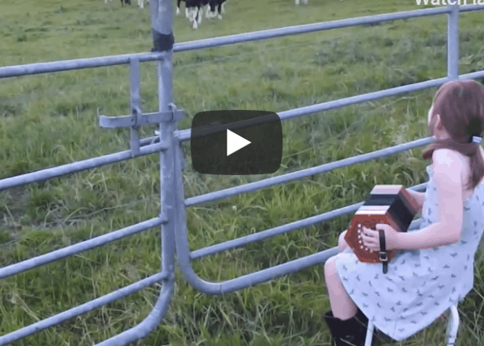 Irish cows line up for some Irish dancing