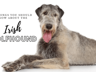 15 things to know about the Irish wolfhound