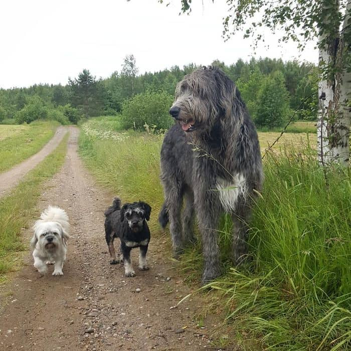 An Irish wolfhound with two other dogs.