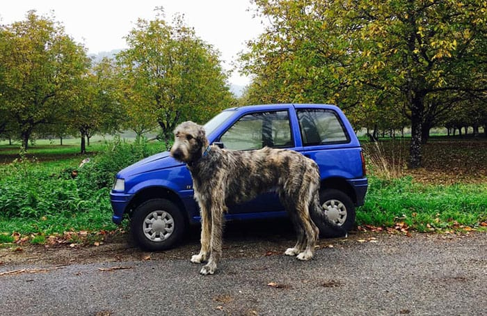 An Irish wolfhound next to a small blue car.
