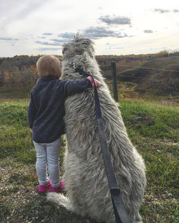 wolfhound with a baby sunset