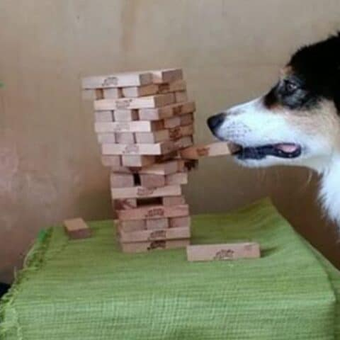 Just a dog playing Jenga with their owner