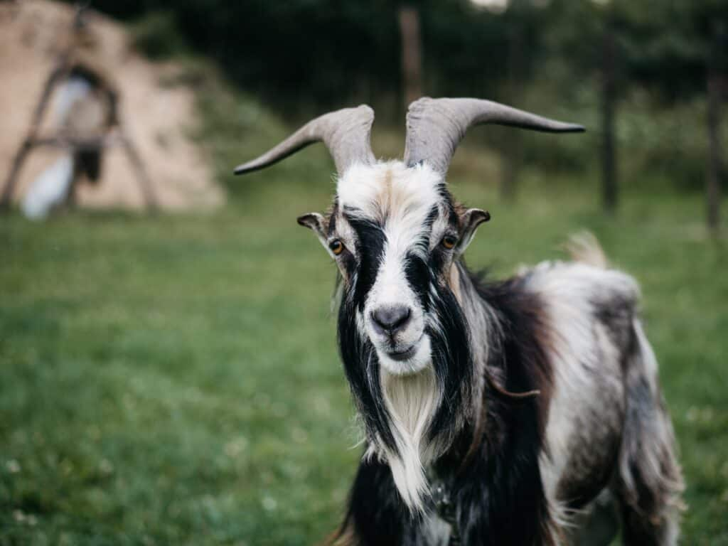 Weekly Funny Video: A Goat That Thinks It Is A Chicken