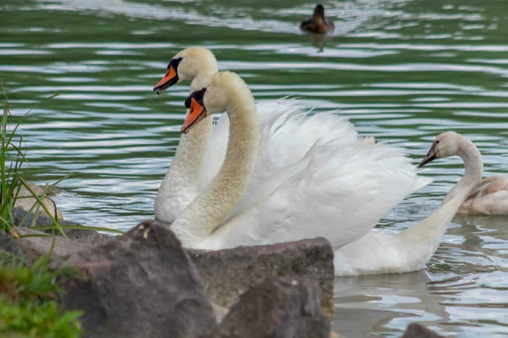 Top Irish Poem – The Wild Swans at CooleBy William Butler Yeats