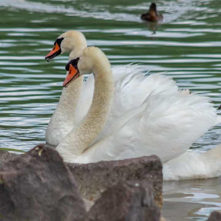 W b yeats poem Swans at the lake