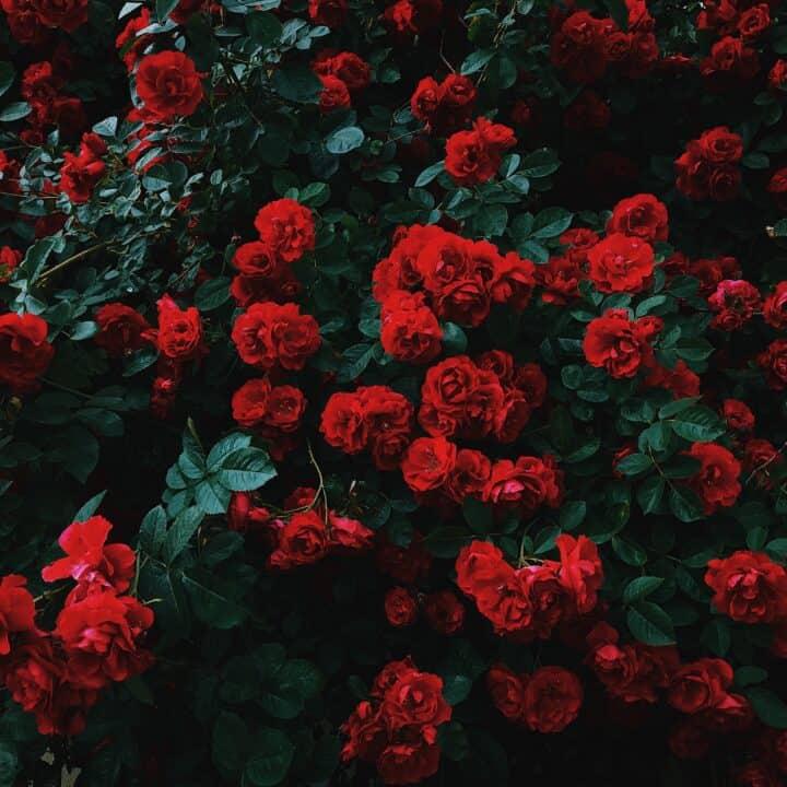 roses Irish poem June