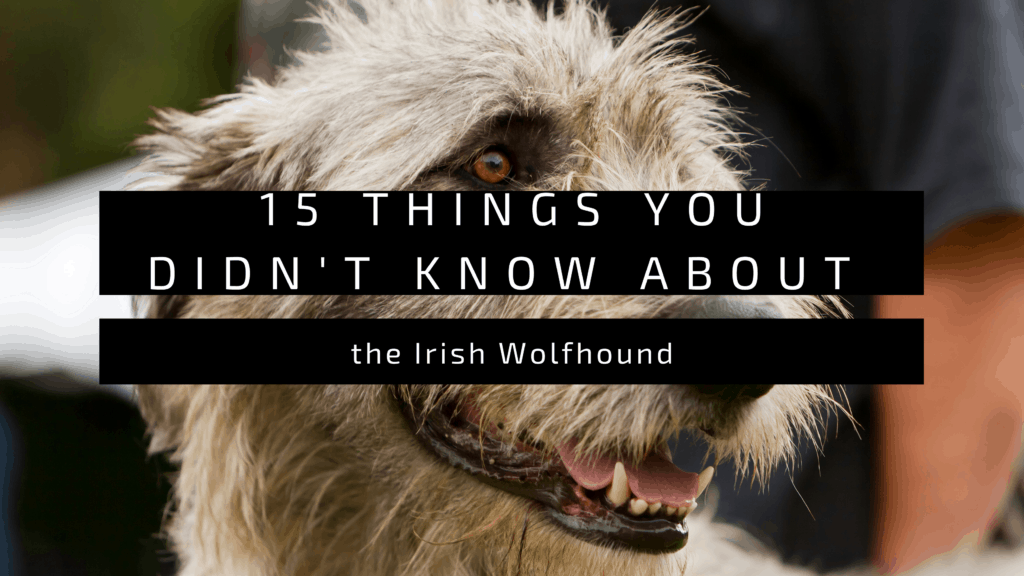 15 Things You Didn't Know About the Irish Wolfhound