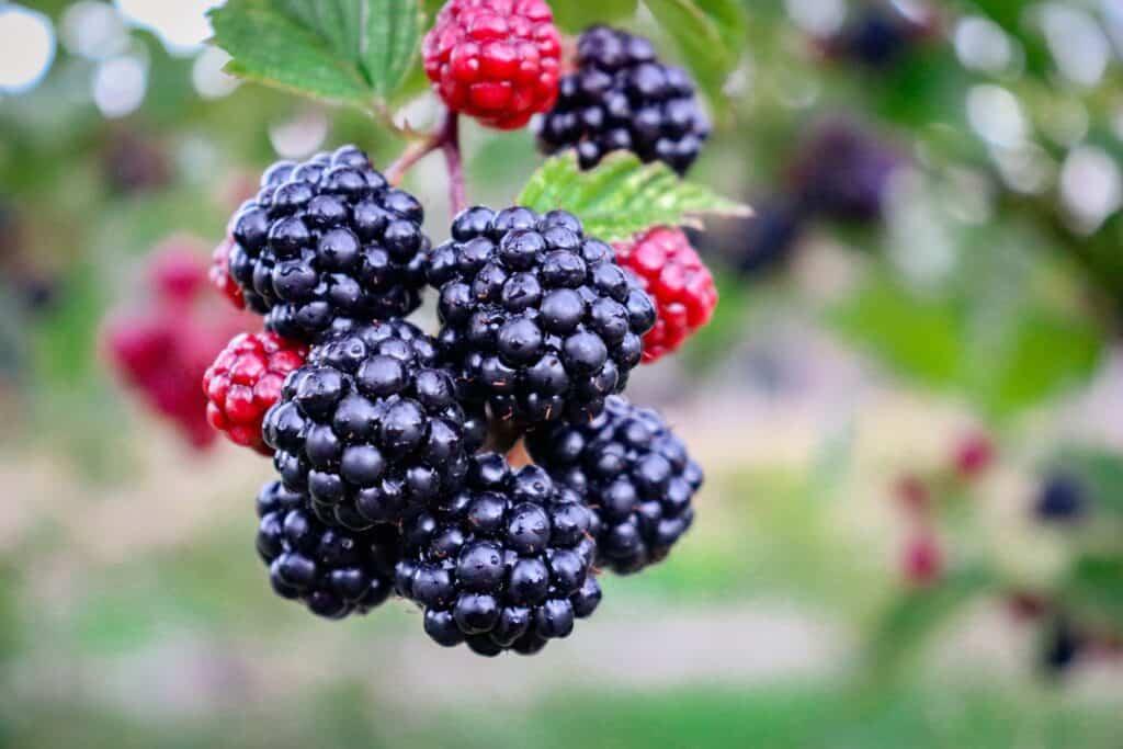 Irish Poem: Blackberry-Picking, by Seamus Heaney(Including Video)