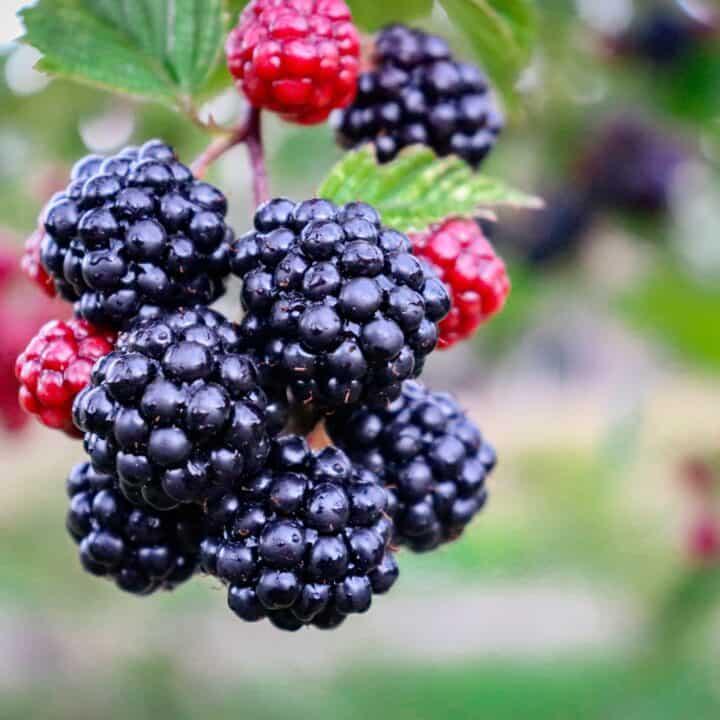 Blackberry-Picking, by Seamus Heaney