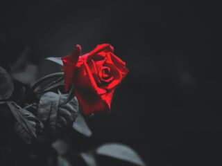 I see the blood upon a rose